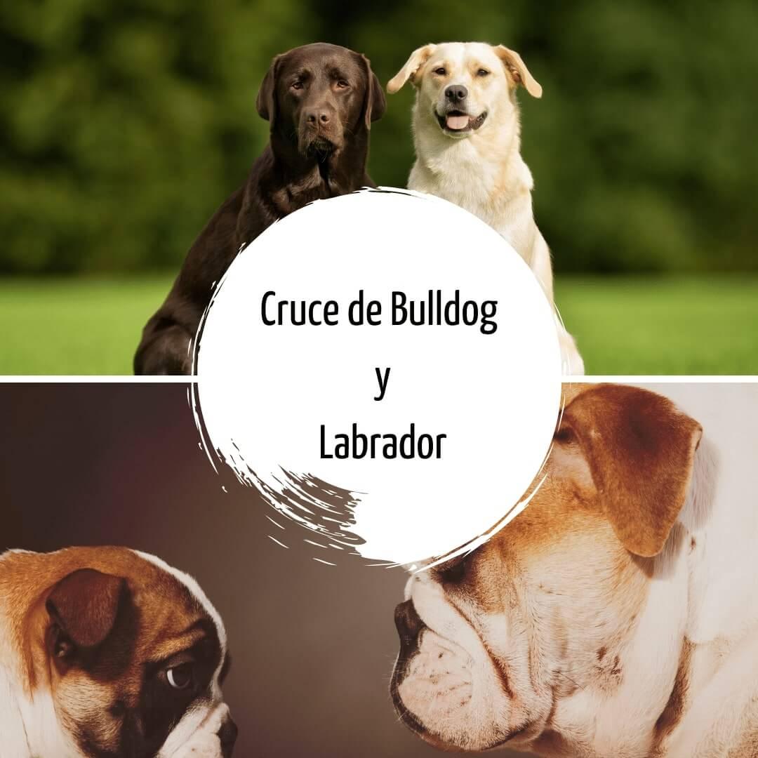 Cruce de Bulldog y Labrador