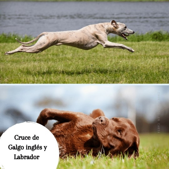 Cruce de Galgo inglés y Labrador