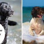 Cruce de Springer spaniel inglés y Labrador
