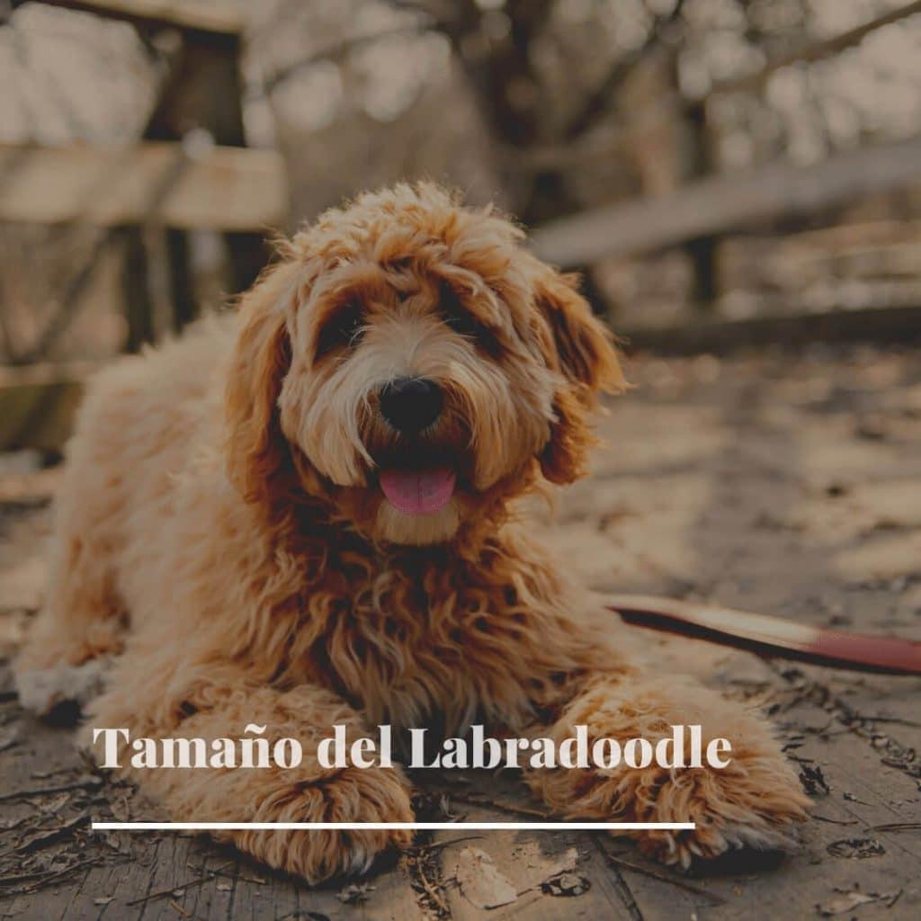 Tamaño del Labradoodle cachorro