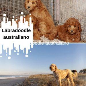 Labradoodle australiano