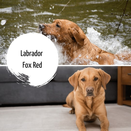 Labrador Fox RedLabrador Fox Red
