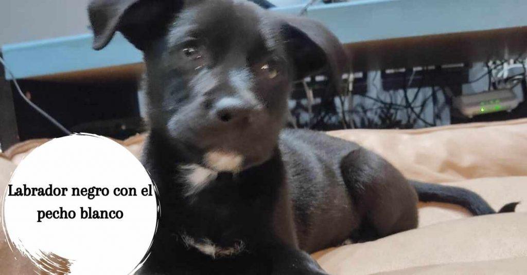 Labrador negro con el pecho blanco