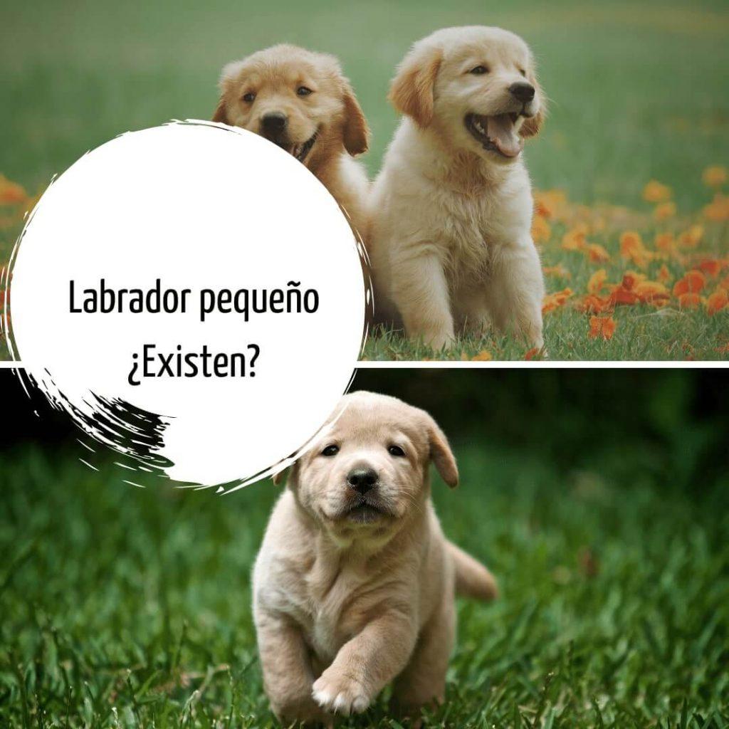 Labrador pequeño