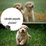 Labrador Enano (pequeño): ¿Existen? ¿Son normales y sanos?