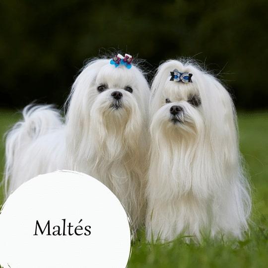 Maltés