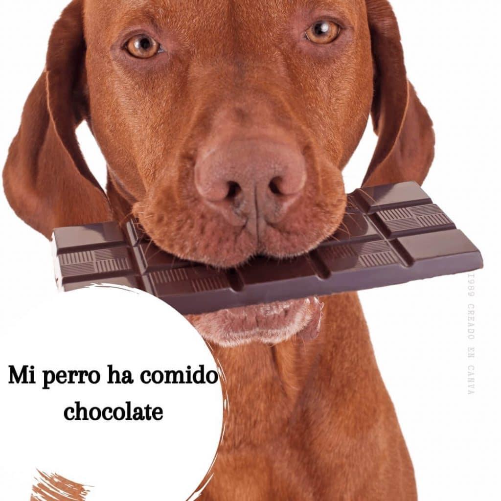 Mi perro ha comido chocolate