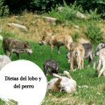 ¿Qué comen los lobos? ¿Se compara con la alimentación de los perros?