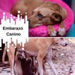 Embarazo canino | Signos y síntomas y desarrollo de los cachorros.