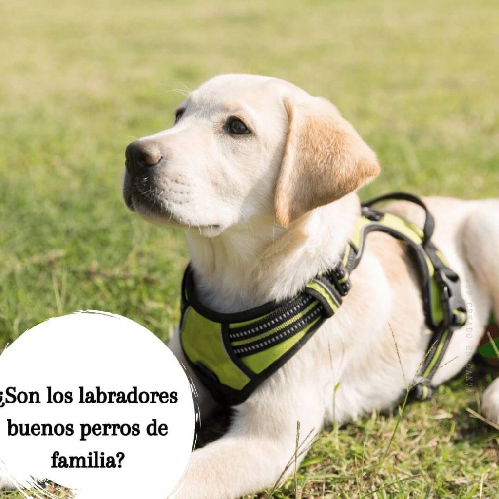 labradores perros de familia