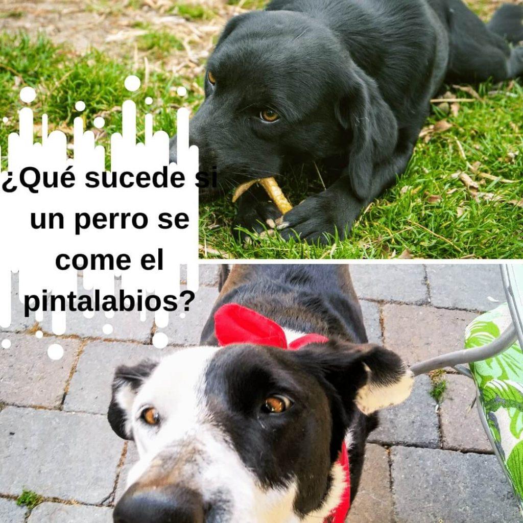 ¿Qué sucede si un perro se come el pintalabios?