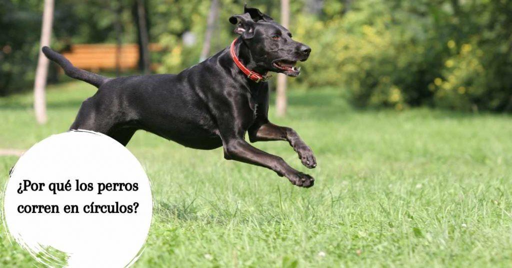¿Por qué los perros corren en círculos?