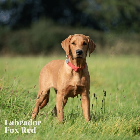 Labrador  Fox Red