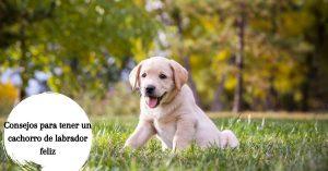 Consejos para tener un cachorro de labrador feliz