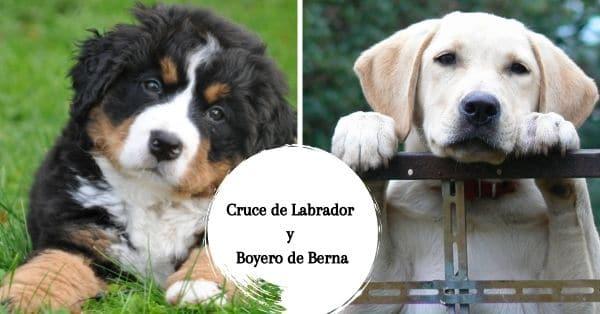 Cruce de Boyero de Berna y Labrador