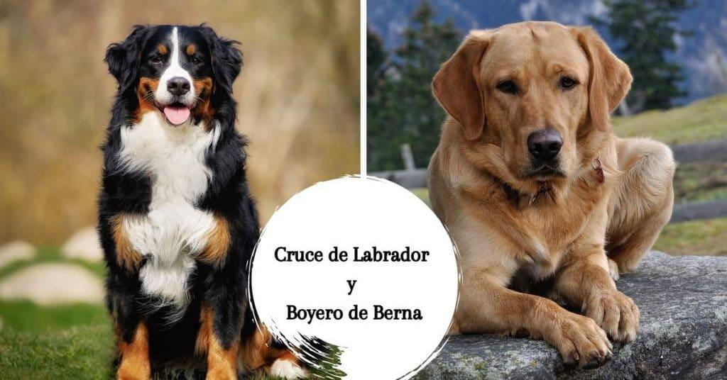 Cruce de Labrador y Boyero de Berna