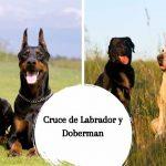 Cruce de Labrador y Doberman