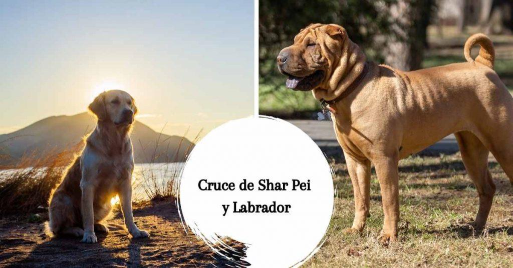 Cruce de Shar Pei y Labrador