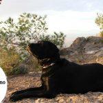 Labrador Americano - Guía del Labrador Retriever americano