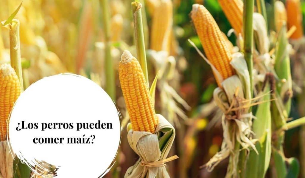 Los perros pueden comer maiz