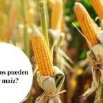 ¿Los perros pueden comer maíz?