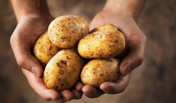 Los perros pueden comer patatas crudas