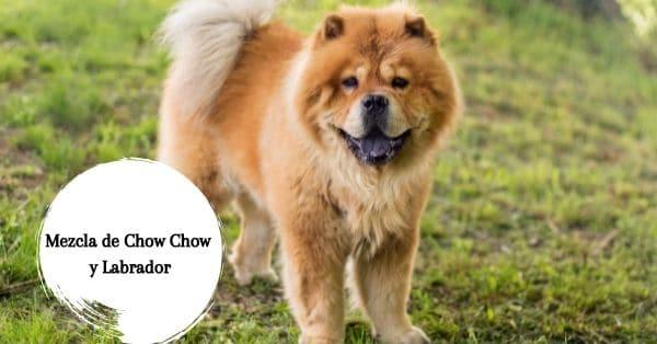 Mezcla de Chow Chow y Labrador