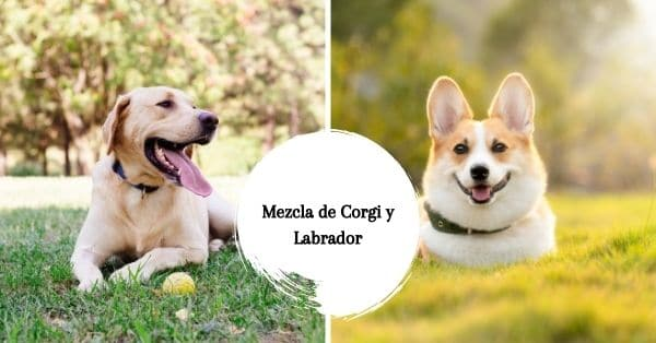 Mezcla de Corgi y Labrador