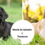 Mezcla de Labrador y Terranova