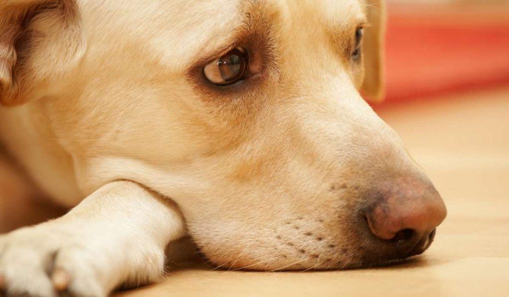 Tristeza en los Perros