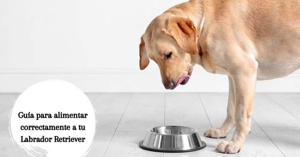 Guía para alimentar correctamente a tu Labrador Retriever