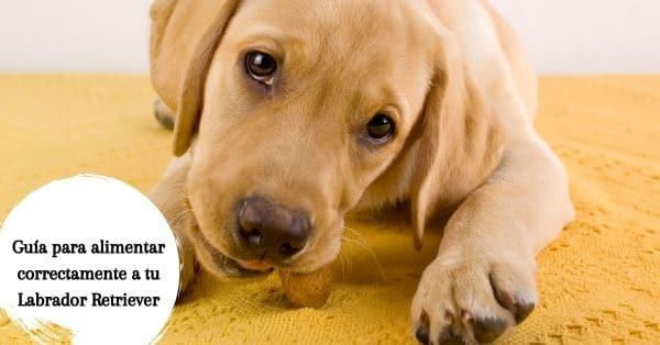 alimentar cachorro Labrador Retriever