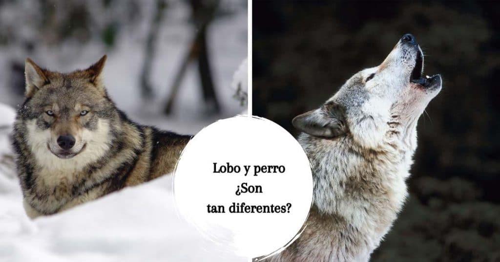 diferencia entre el perro domestico y el lobo gris