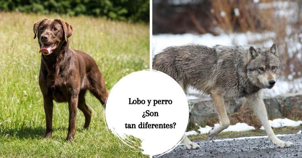diferencia entre lobo y perro