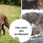 Lobo y perro: ¿son realmente tan diferentes?