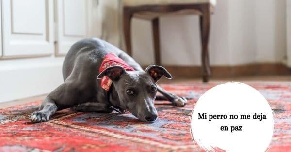 enseñar a un perro a calmarse en una alfombra
