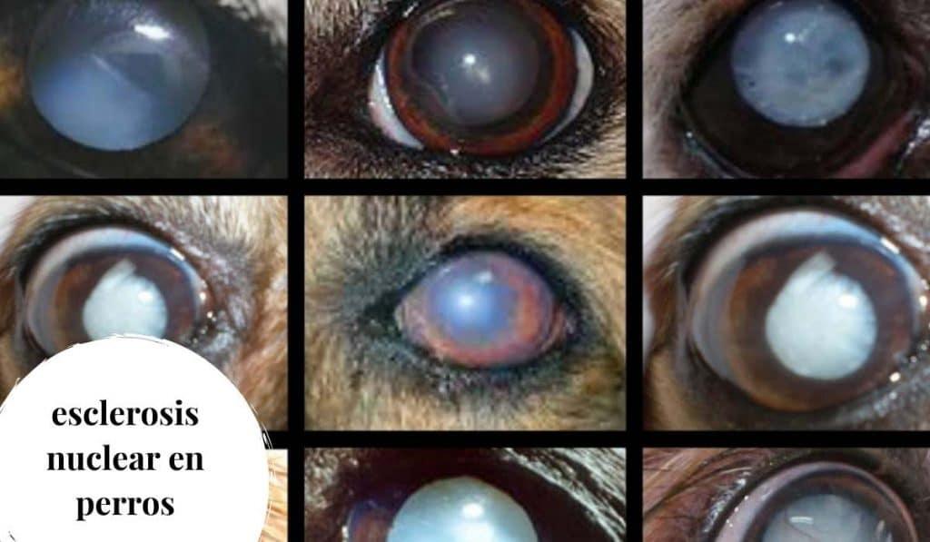 esclerosis nuclear en perros