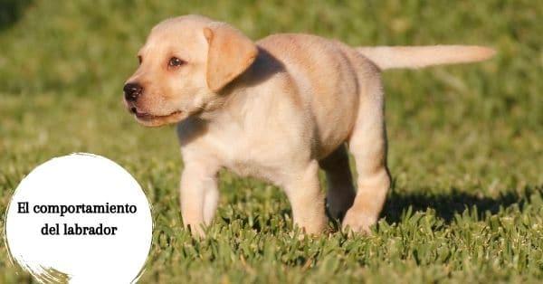 evitar que mi labrador persiga a otros perros