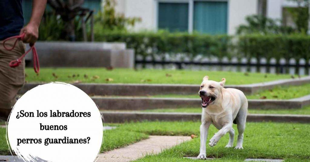labrador como perro guardian