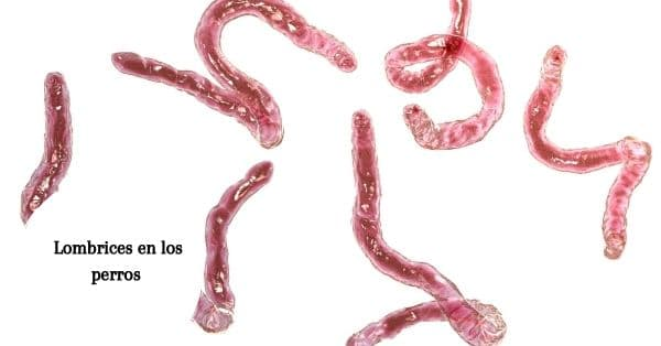 parasitos perro