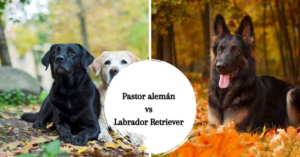 pastor aleman vs labrador