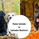 Pastor alemán vs Labrador Retriever ¿Cuál elegir?