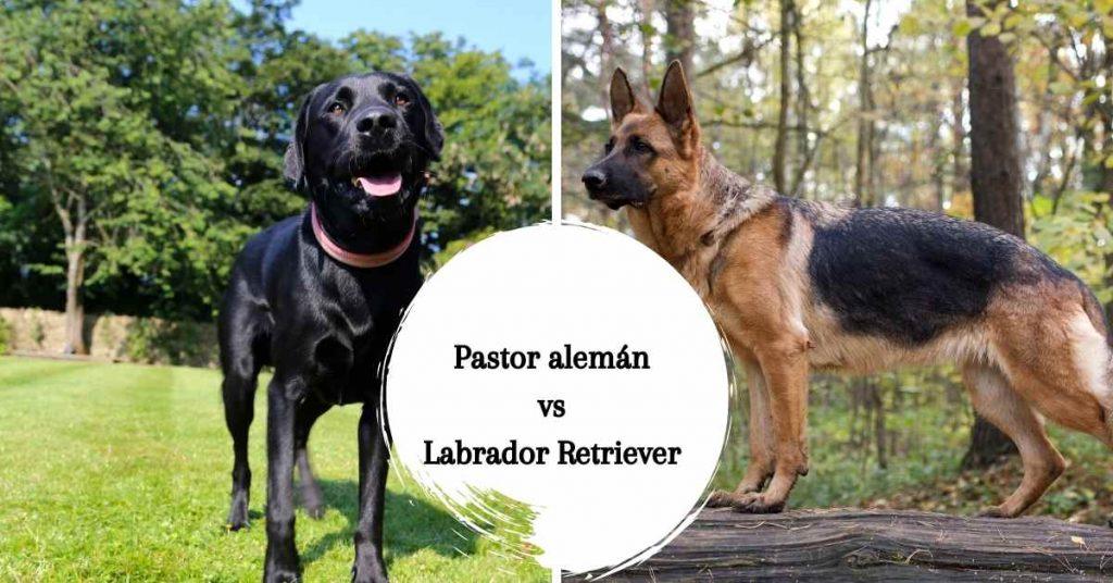 pastor aleman vs labrador retriever