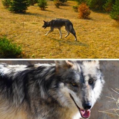 Características del lobo híbrido