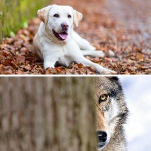 Híbrido de lobo y perro
