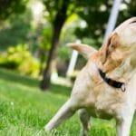 ¿Ladran mucho los Labradores?