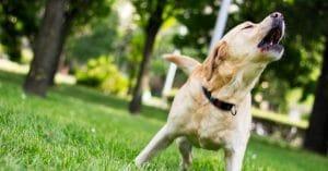 Ladran mucho los Labradores