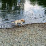 Dudas habituales sobre los cachorros de labrador