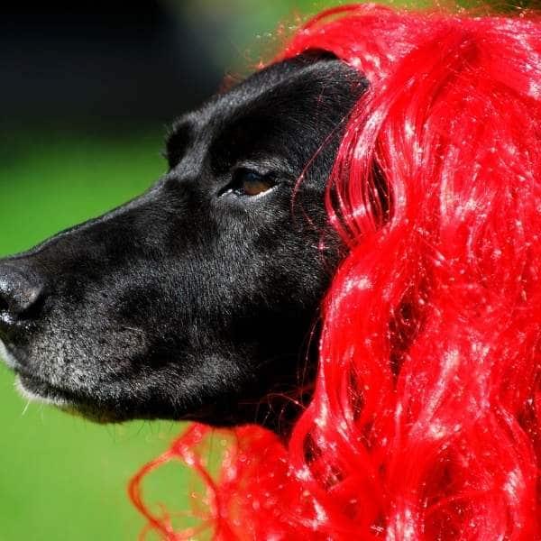 Labrador de pelo largo