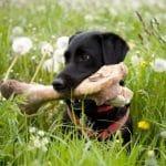 ¿Es bueno que los perros coman huesos?
